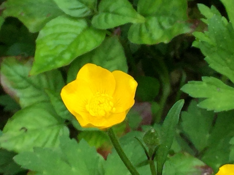creeping buttercup (3)