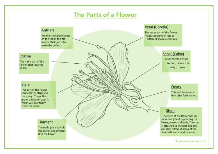 Parts of a flower detailed diagram